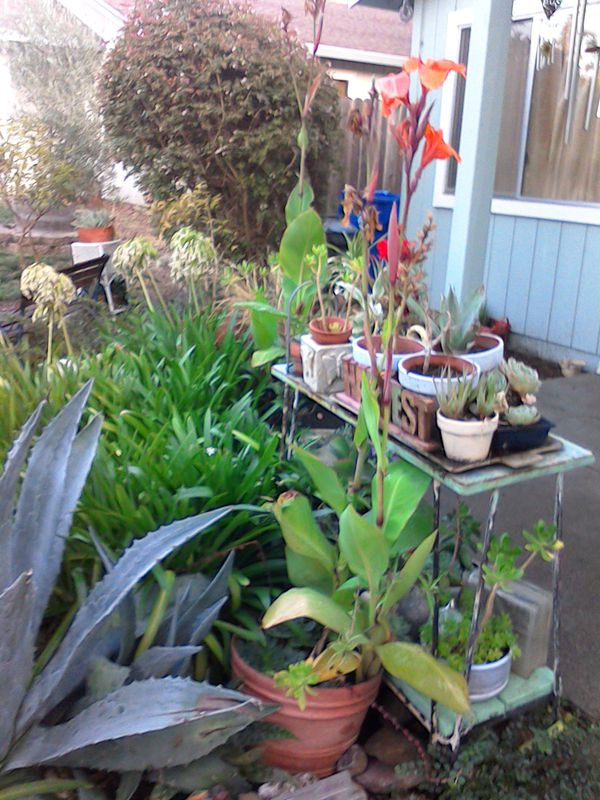 Three Plants For 18 For Sale In Napa Ca Offerup