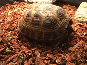 Russian Tortoise for Sale in Burke, VA