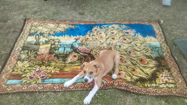 7571813f4cc7 Peacock tapestry for Sale in Miamisburg