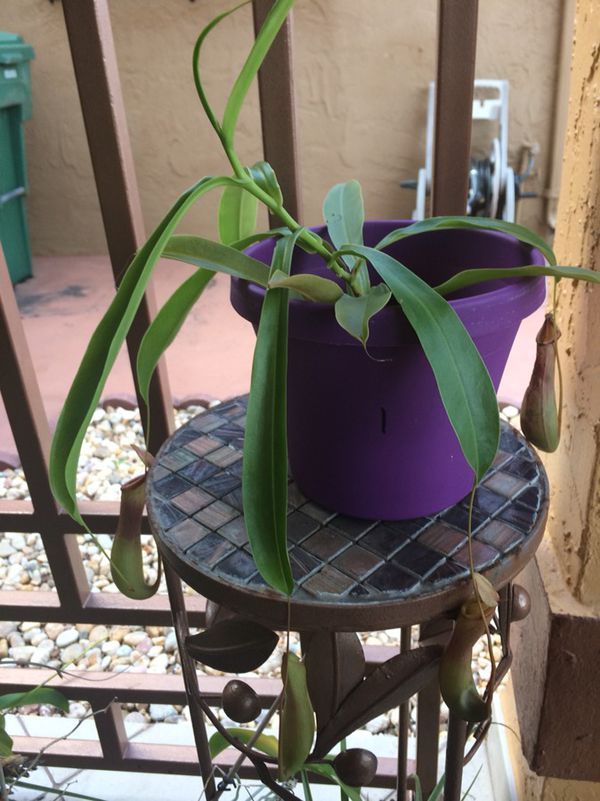 Pitcher Plant labeled 1 for Sale in Hialeah, FL - OfferUp
