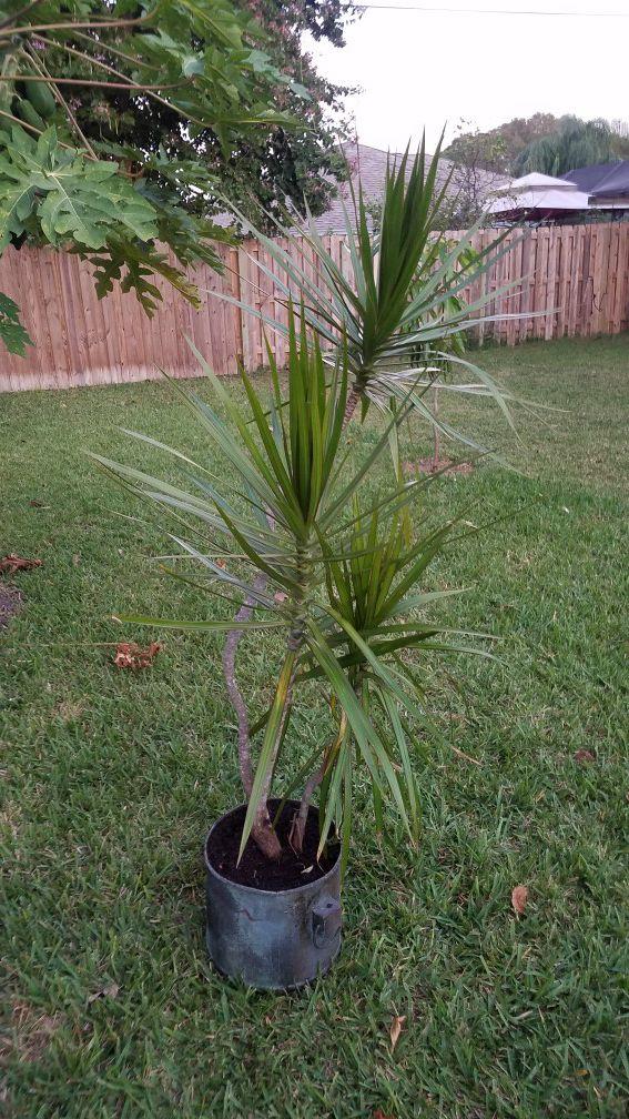 Dracaena Marginata Madagascar Dragon Tree Plant For Sale