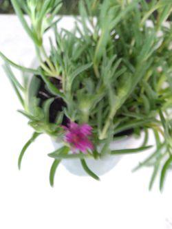planta Thumbnail