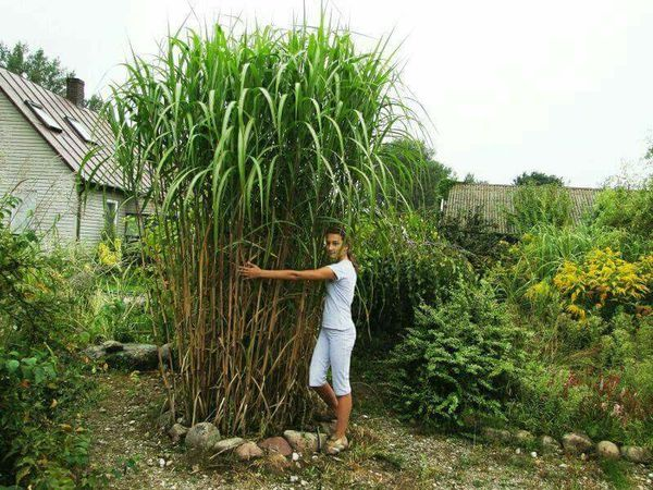 Miscanthus Giganteus Perennial Grasses For Sale In
