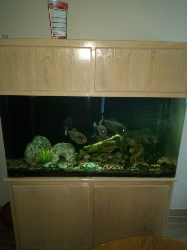 Fish tank piranhas for Sale in Clackamas, OR - OfferUp