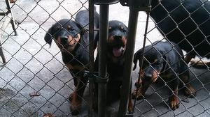Rottweiler puppies for Sale in Tampa, FL