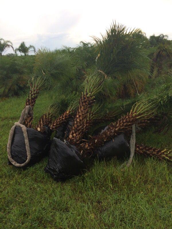 Roubelini palms