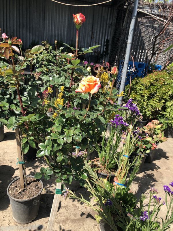 Rose tree / rosal alto (Home & Garden) in Los Angeles, CA - OfferUp