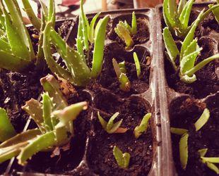 Aloe Vera Plants Thumbnail