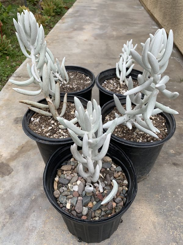 Rare Succulent Plants For Sale In Spring Valley Ca Offerup