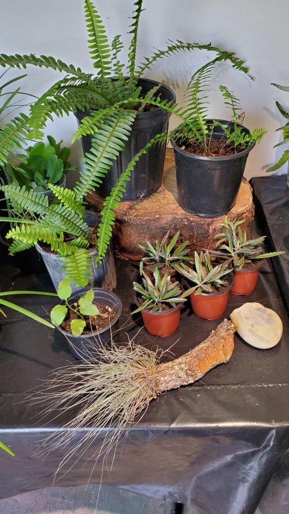 $3 each fern, succulents or air plants