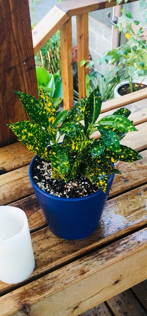 Live indoor Gold Dust Croton plant in ceramic planter flower pot—firm price for Sale in Tukwila, WA