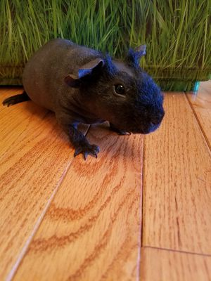 Two hairless skinny guinea pigs females black for Sale in Frederick, MD