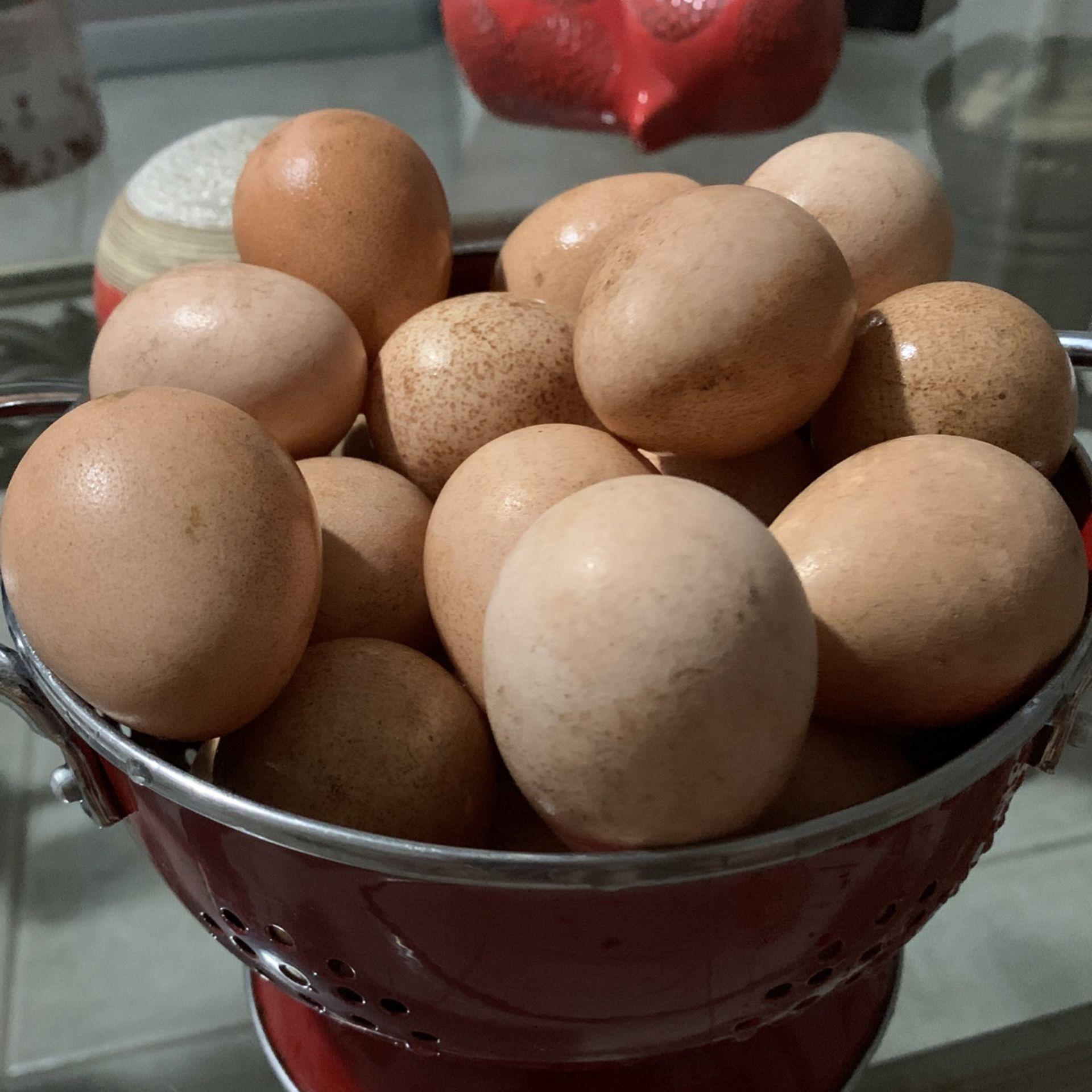 Huevos Fertiles De Gallina De Guinea