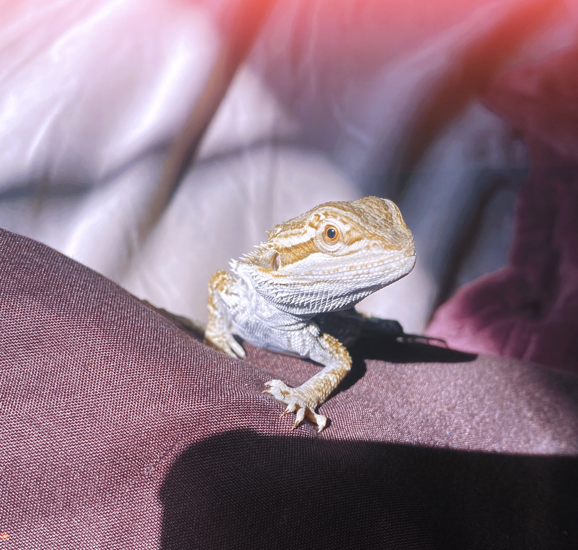 2-3 Month Old Bearded Dragon