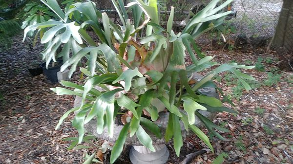 Staghorn Fern On Piece Of Tree For Sale In Brandon Fl