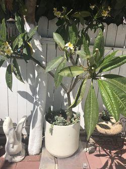 Planta hahullana con maseta y plantas de resequedad Thumbnail