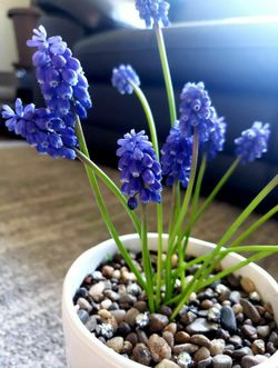 Grape Hyacinth Planter & Bulbs Thumbnail