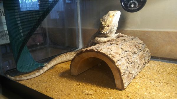 Bearded dragon for Sale in Hagerstown, MD - OfferUp