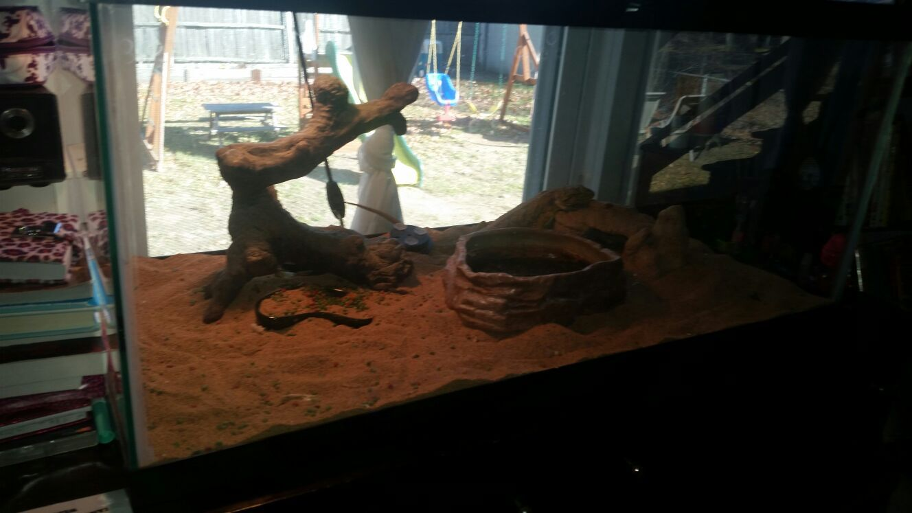 Bearded dragon with complete settup
