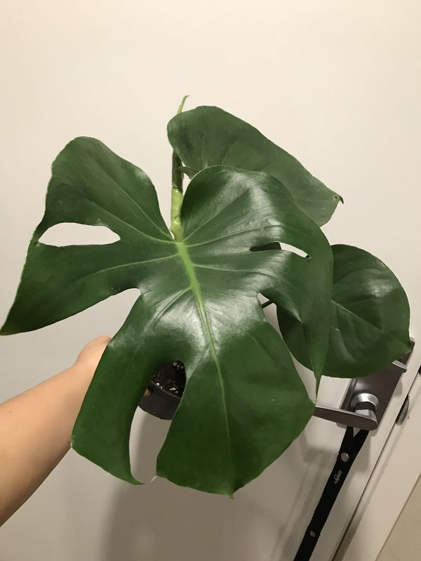 House Plants Fiddle Leaf Fig Monstera Deliciosa For Sale