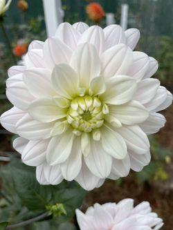 Wedding dahlias White, Blush And Pink Dahlias Thumbnail