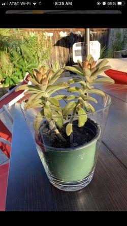 Beautiful live plant / succulent Thumbnail