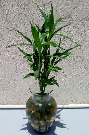 New and Used Bamboo plant for Sale in Hallandale Beach, FL