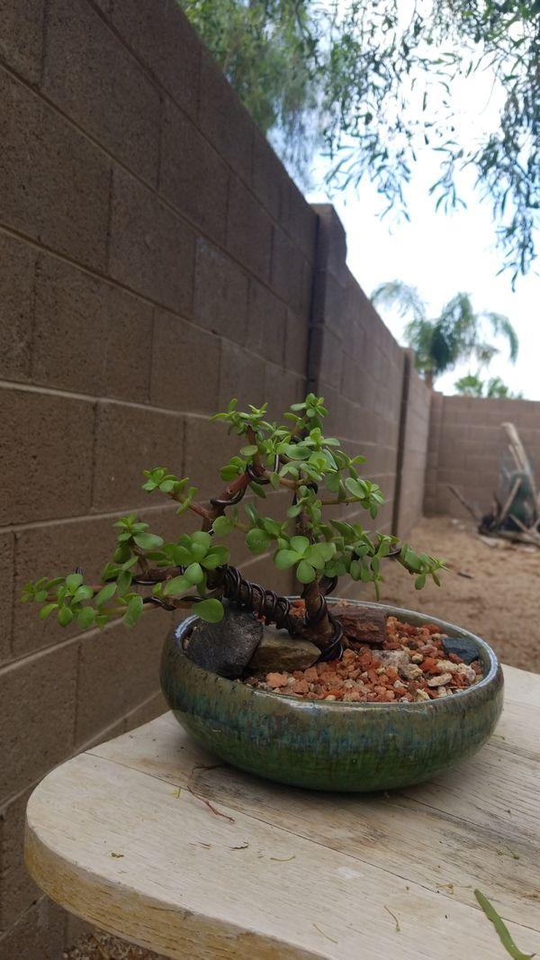 Pleasing Bonsai Dwarf Jade Tree Elephant Food For Sale In Glendale Az Wiring 101 Photwellnesstrialsorg