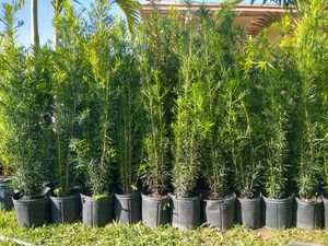 Photo Spectacular Podocarpus Plants for immediate privacy! Really beautiful and big! 4 FEET TALL