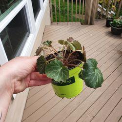 Strawberry Begonia 🍓 Thumbnail