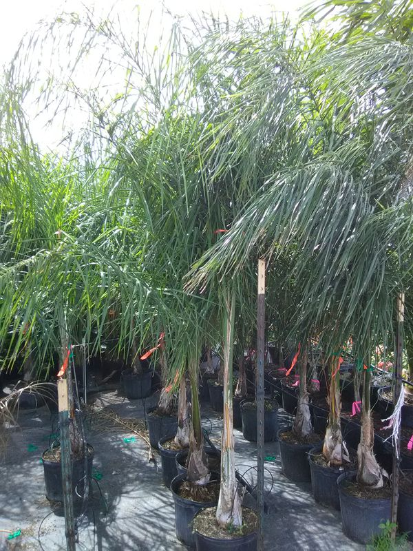 Queen Palms For Sale In Corpus Christi Tx Offerup