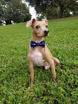 Pet Bow-Tie Velcro Attached Handmade for Sale in Orlando, FL