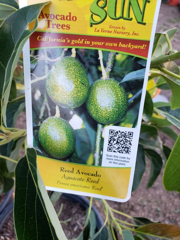 Reed avocado 5 gallons for Sale in Ontario, CA - OfferUp