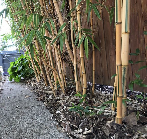 Yellow Spectabilis Bamboo Plants Screen 12 X 10 15 Seattle