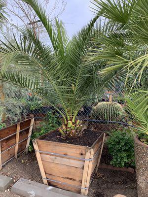 Photo Phoenix Canariensis Date palm , Canary Date Palm tree