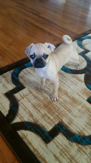Pug puppy      for Sale in Milwaukee, WI - OfferUp