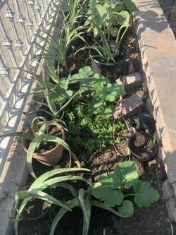 Baby Aloe Vera Plants, hijos de saliva Thumbnail