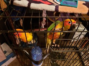 Two Sun Conures with Extra large Cage for Sale in Sanford, FL