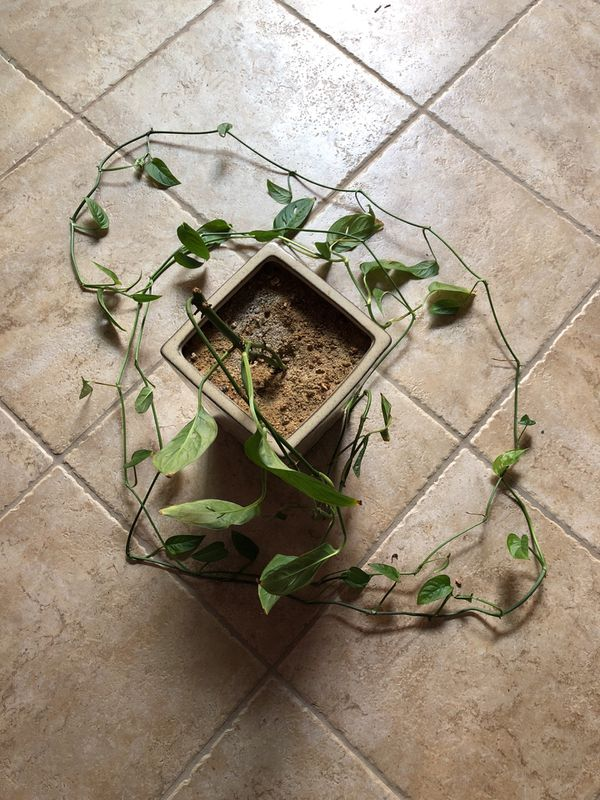Philodendron adansonii, Swiss cheese plant, vine for Sale in Murrieta, CA -  OfferUp