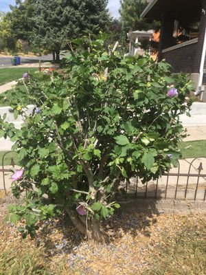 Azalea Bush, large, just trimmed. 2 rose bushes, 1 boxwood. All free! for Sale in Salt Lake City, UT