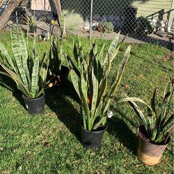 Plantas Lengua De Suegra ( Mother -in- Law Tongue Thumbnail