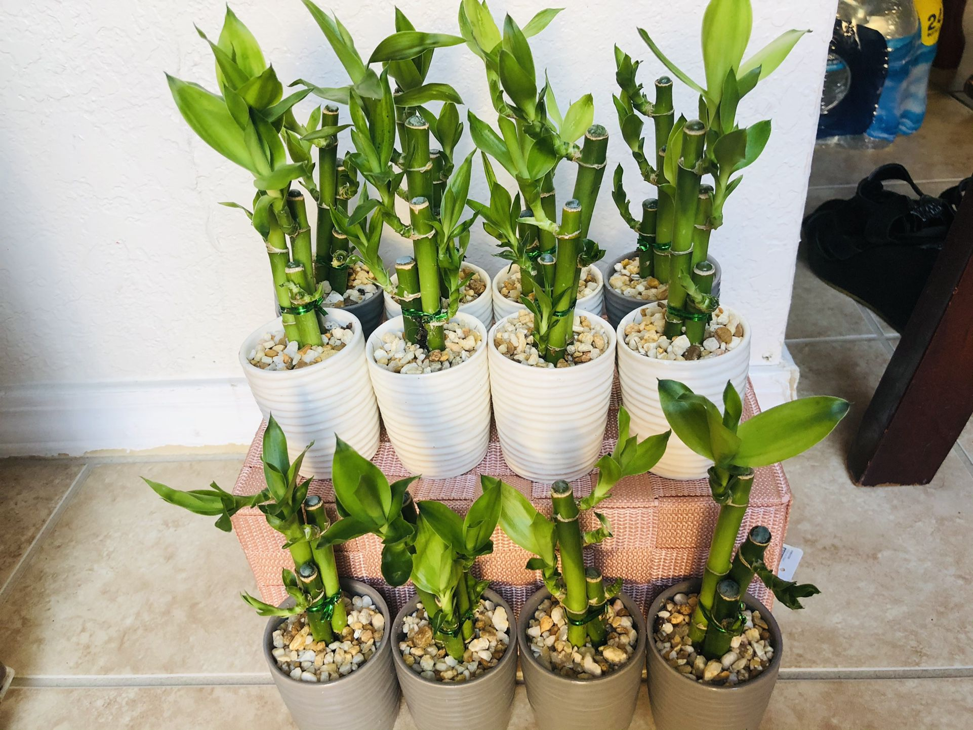 Lucky Bamboo With Nice Ceramic Vase Live Plant Indoor