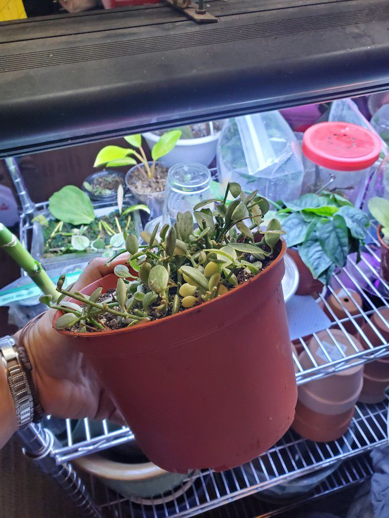 Rare Varigated Dischidia Oiantha Plant 8in Pot