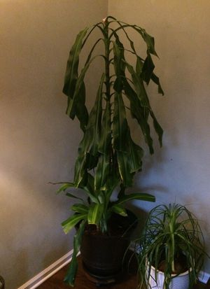 House plant for Sale in Boyds, MD