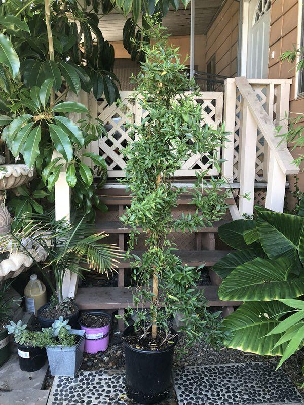 Jasmine (Home & Garden) in Lake Forest, CA - OfferUp