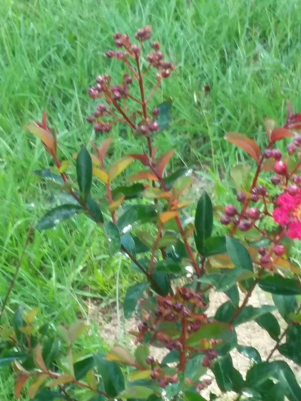 Magnolia And Crape Myrtle Trees For Sale In Griffin Ga Offerup