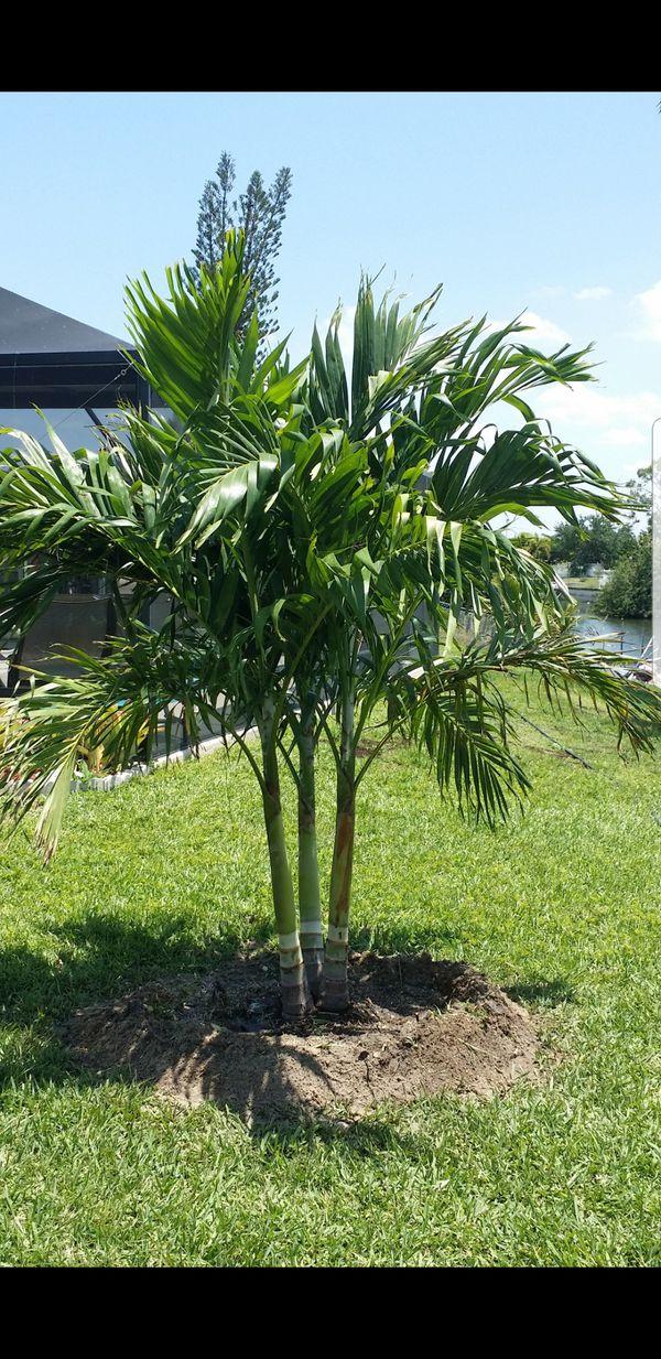 Triple Christmas Palms For Sale In Bokeelia Fl Offerup