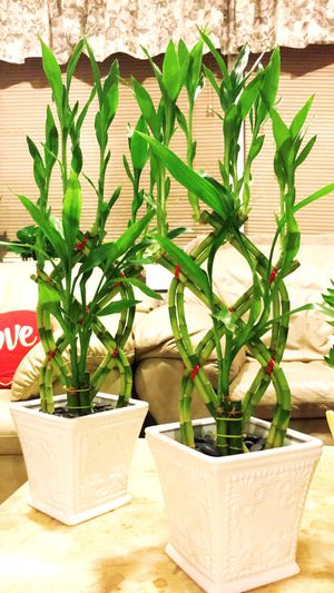 Photo Lucky Bamboo Plants - $13 each