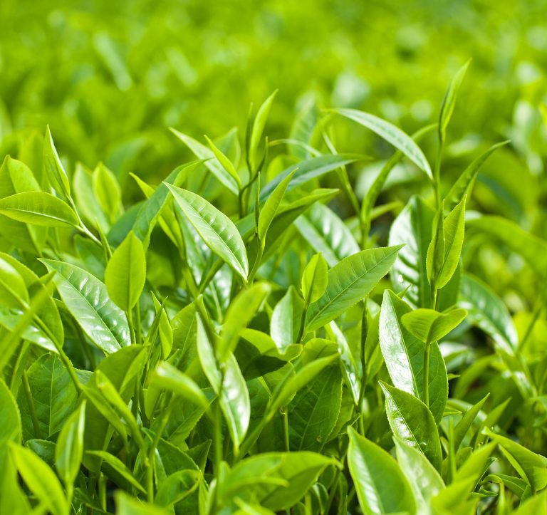 Green Tea Trees, beautiful and  healthy trees
