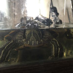 Tank with turtles for Sale in Escondido, CA